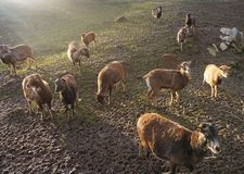 Multitud de ovejas en la puesta del sol en el campo imagen de archivo