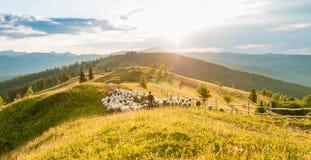 Multitud de ovejas en las montañas en el fondo de la puesta del sol Imagen de archivo libre de regalías