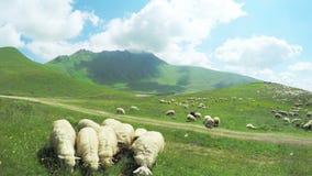 Multitud de ovejas en montañas almacen de metraje de vídeo
