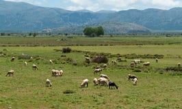Multitud de ovejas en prado hermoso de la montaña Foto de archivo libre de regalías