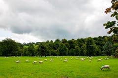 Multitud de ovejas en prado hermoso de la montaña en el distrito máximo nacional Fotografía de archivo libre de regalías