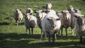 Multitud de ovejas en sol de la primavera en la inglés del campo de la granja Imagen de archivo