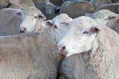 Multitud de ovejas en su pluma fotografía de archivo