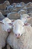 Multitud de ovejas en su pluma fotografía de archivo libre de regalías