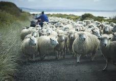 Multitud de ovejas en un camino con el pastor Fotos de archivo libres de regalías