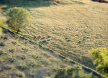 Multitud de ovejas en una colina toscana con efecto de la inclinación y del cambio Imagen de archivo