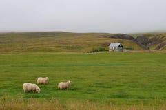 Multitud de ovejas merinas foto de archivo