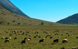 Multitud de ovejas, pastando Imagen de archivo