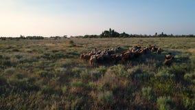 Multitud de ovejas salvajes almacen de metraje de vídeo