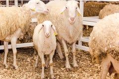 Multitud de ovejas y de corderos Fotos de archivo