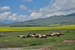 Multitud de ovejas y de la cabra Fotografía de archivo