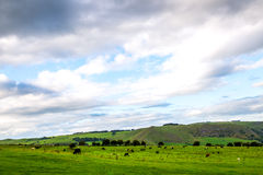 Multitud de ovejas y de vacas en prado verde hermoso en día nublado Imagen de archivo