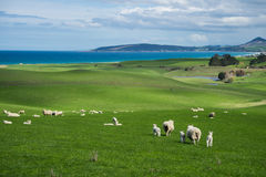 Multitud de ovejas y del cordero Fotos de archivo
