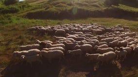 Multitud de ovejas y del hombre metrajes