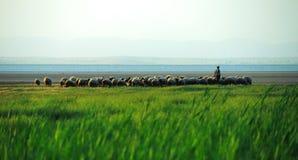 Multitud de ovejas y del pastor Imágenes de archivo libres de regalías