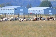 Multitud de ovejas y de edificios agrícolas modernos imagenes de archivo