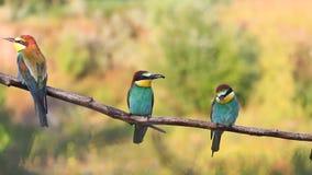 Multitud de pájaros coloridos en un día caliente que se sienta en una rama almacen de metraje de vídeo