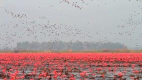 Multitud de pájaros en el lago rojo del loto almacen de video