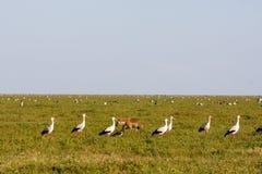 Multitud de pájaros en la sabana de Serengeti, Tanzania Fotos de archivo