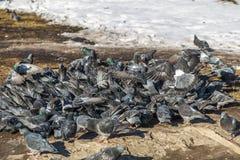 Multitud de palomas Fotografía de archivo libre de regalías
