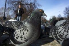 Multitud de palomas de dentro imágenes de archivo libres de regalías