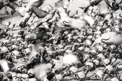 Multitud de palomas en el cuadrado Fotografía de archivo