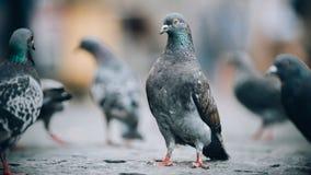Multitud de palomas en la calle Muchedumbre de la paloma Cierre para arriba Imagen de archivo