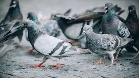 Multitud de palomas en la calle Muchedumbre de la paloma Cierre para arriba Imagen de archivo libre de regalías