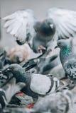 Multitud de palomas en la calle Muchedumbre de la paloma Cierre para arriba Imágenes de archivo libres de regalías