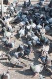 Multitud de palomas - una multitud de las palomas que se colocan en la placa de acero Imagen de archivo libre de regalías