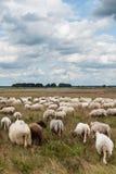 Multitud de pastar ovejas imágenes de archivo libres de regalías