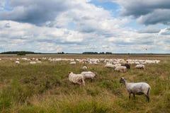 Multitud de pastar ovejas fotografía de archivo libre de regalías