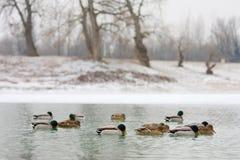 Multitud de patos en naturaleza Fotografía de archivo libre de regalías