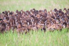 Multitud de patos marrones en el campo de hierba verde Imagen de archivo