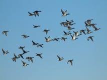 Multitud de patos salvajes imágenes de archivo libres de regalías