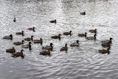 Multitud de patos salvajes en el día nublado del otoño de la charca Foto de archivo