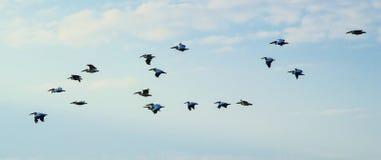 Multitud de pelícanos en el cielo pelicans Pelícanos en el flóculo del cielo Foto de archivo