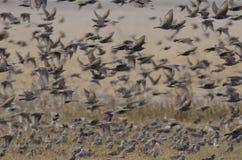 Multitud de starlings europeos Imagen de archivo