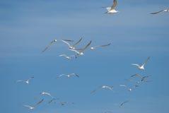 Multitud de volar de las gaviotas Fotos de archivo libres de regalías