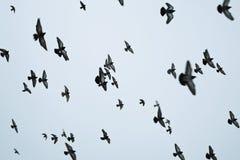 Multitud de volar de los pájaros Imágenes de archivo libres de regalías