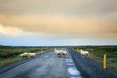 Multitud del camino de la travesía de las ovejas Imagen de archivo libre de regalías