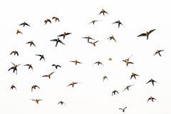 Multitud del conure del Macaw y del sol del vuelo Fotos de archivo