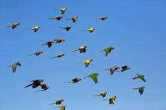 Multitud del conure del Macaw y del sol del vuelo Fotografía de archivo libre de regalías