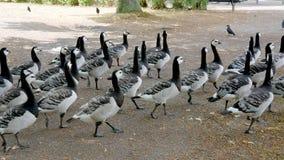 Multitud del ganso canadiense que camina en el parque metrajes