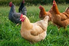 Multitud del pollo imagenes de archivo