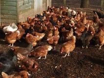 Multitud del pollo Imagen de archivo
