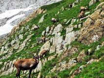 Multitud del rupicapra L de la gamuza o del Rupicapra n las cercanías de la montaña Alpstein total imagen de archivo