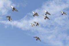 Multitud del vuelo de la paloma que compite con de la velocidad contra el cielo azul Imagenes de archivo