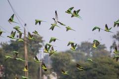Multitud en Rose Ringed Parakeets Flying fotos de archivo