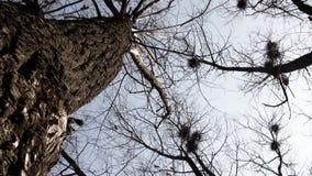 Multitud grande de cuervos en los tops del árbol